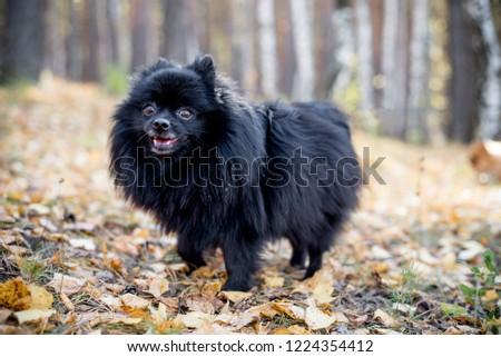 Cute friendly spitz dog walking in an autumn park #1224354412