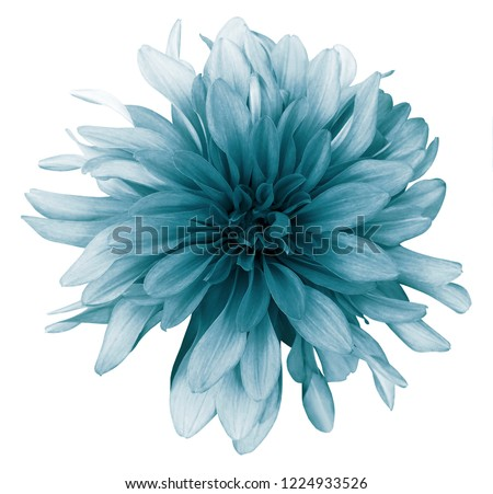 Vintage turquoise dahlia  flower white  background isolated  with clipping path. Closeup. For design. Nature.  #1224933526