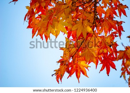 Red acer palmatum, commonly known as palmate maple, Japanese maple or smooth Japanese-maple leaves over the clear blue sky. Leaves changing its colour when autumn. #1224936400