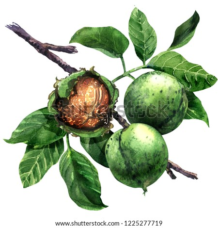 Ripe walnut, nut, walnuts fruits green tree branch with leaves isolated, hand drawn watercolor illustration on white background