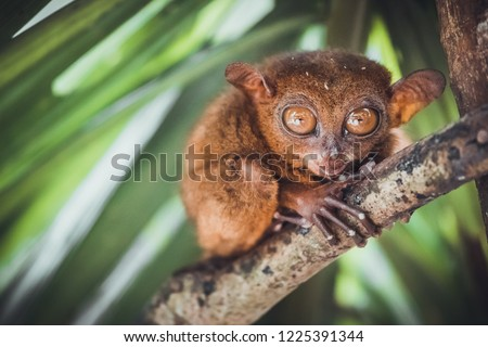 Endangered Tarsier in Bohol Tarsier sanctuary, Cebu, Philippines. Cute Tarsius monkey with big eyes sitting on a branch with green leaves. The smallest primate Carlito syrichta in nature. #1225391344