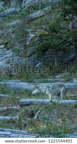 Wild wolf in forest #1225544401