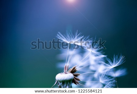 Art photo of dandelion close-up on blue background. Drops of morning dew on the dandelion seeds. Black and white photo. Monochrome photography. #1225584121