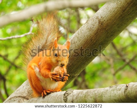 Red fat squirrel gnawing a nut #1225622872