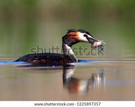 water bird on the lake (podiceps cristatus) #1225897357