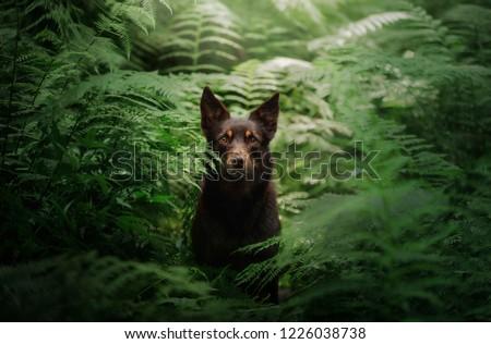 dog breed Australian Kelpie in the woods. pet on nature, outside #1226038738