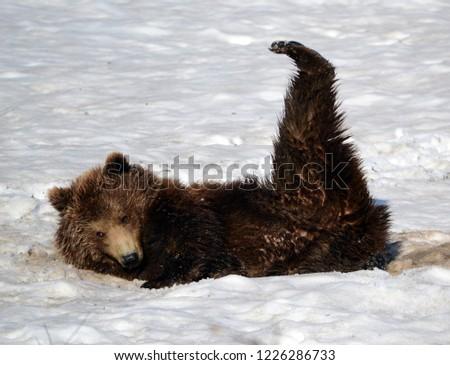 Brown bear in Geyser Valley, Kamchatka #1226286733