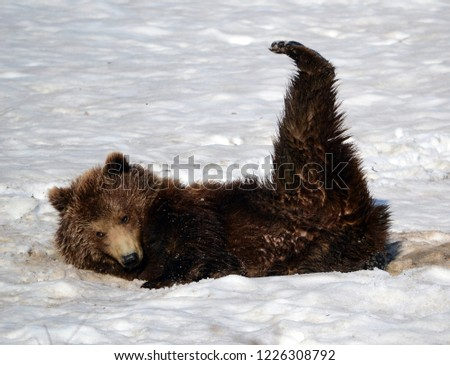 Kamchatka district/Russia - jun 7 2014: Brown kamchatka bear #1226308792