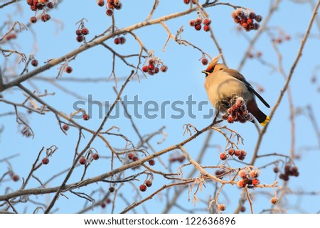waxwing eating red berries #122636896