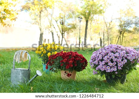 Beautiful colorful chrysanthemum flowers and watering can on green grass #1226484712