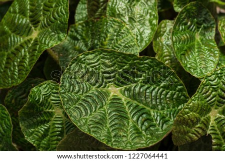 The leaves of the begonia, begonia background. #1227064441