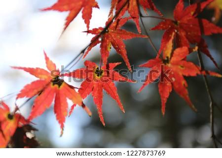 Maple leaves, Kyushu #1227873769