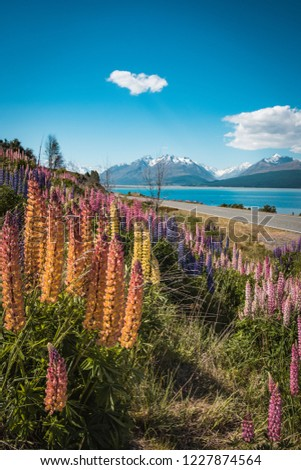 Lupin landscapes on the South Island of New Zealand #1227874564