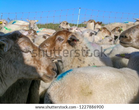 Close-up of herd of sheep, lots of sheep with colored paint marks and ear tags for a fence of rope, some grass and a blue sky. #1227886900