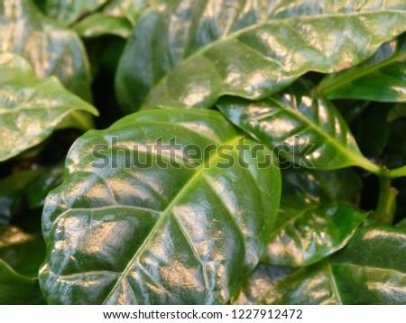 beautiful fresh green coffee plant in a botanical greenhouse #1227912472