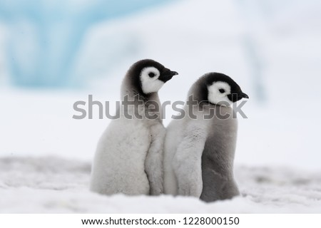 Emperor Penguin Chicks are BFFs.  This pair of baby penguins was inseparable.  How doe s the heart not respond to such examples of friendship?