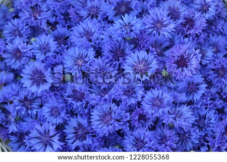 Background full of blue cornflowers in midsummer  #1228055368