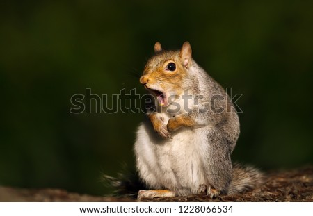 Close up of a grey squirrel yawning.