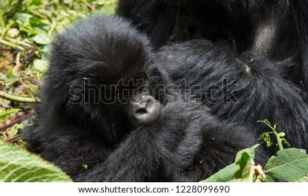 Mountain gorillas in the wild in thick forest Volcanos National Park Rwanda #1228099690
