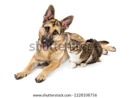 Large Belgian Malinois shepherd dog and tabby and white cat lying together on white #1228108756
