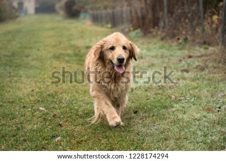 wet golden retriever dog #1228174294