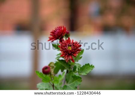 Autumn Chrysanthemum. Macro shooting. #1228430446