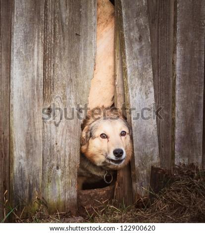 Dog peeking through old wood fence #122900620