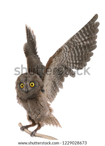 owl on a tree branch with licentious wings isolated on white background #1229028673