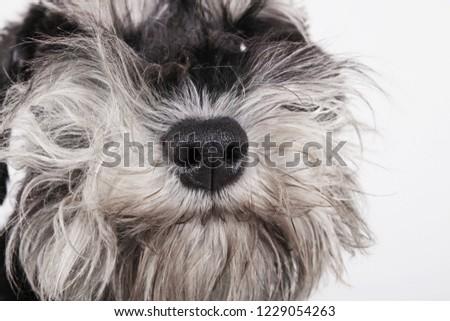 Miniature schnauzer puppy dog portrait on white background.  Dog muzzle, beard close-up #1229054263