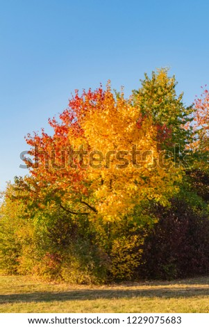 Colorful autumn leaves of a maple (Genus Acer) in sunlight in Berlin, Germany #1229075683