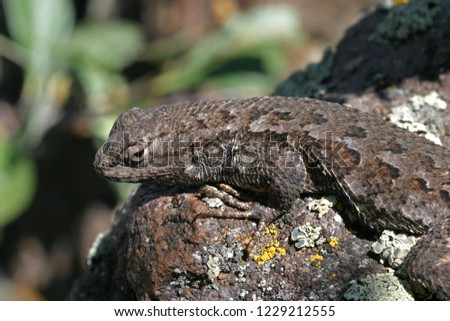 Brown scaled lizard on lichen-covered rock, closeup macro photo, Western fence lizard, Hogback Mountain, Klamath Falls, Oregon, USA #1229212555