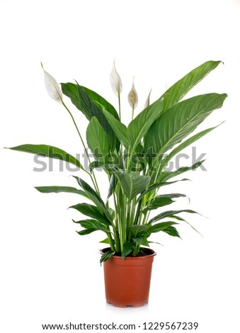 Spathiphyllum plant in front of white background #1229567239