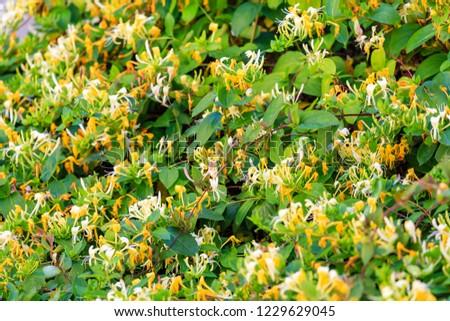 Blooming honeysuckle Bush near the house. White yellow Lonicera japonica Caprifolium perfoliate honeysuckle flowers. Golden-and-silver honeysuckle or Japanese honeysuckle groundcover #1229629045