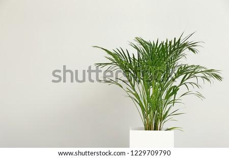 Decorative Areca palm on light background #1229709790