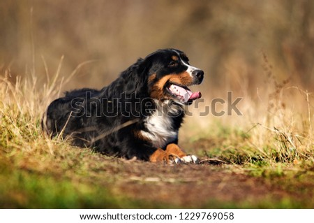 Bernese Mountain dog outdoors #1229769058