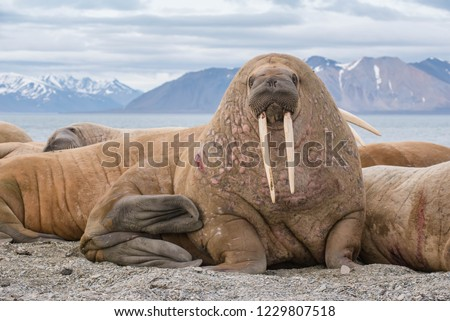 The walrus is a marine mammal, the only modern species of the walrus family, traditionally attributed to the pinniped group. One of the largest representatives of pinnipeds. #1229807518