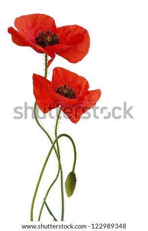 Poppy flowers with bud, isolated, #122989348
