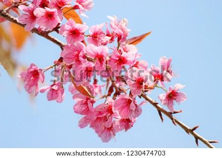Closeup of Wild Himalayan Cherry (Prunus cerasoides) at PhuLomLo, Dan Sai District, Loei, Thailand. #1230474703