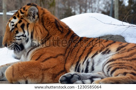 Amur Siberian tiger is a Panthera tigris tigris population in the Far East, particularly the Russian Far East and Northeast China #1230585064