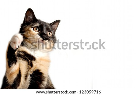 Cute playing kitten,rare tricolored tortie cat #123059716