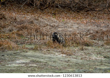 Young raccoon dog on the river Bank. Raccoon dog in search of food. Beautiful wildlife.