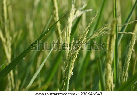 A closeup of young paddy grains #1230646543