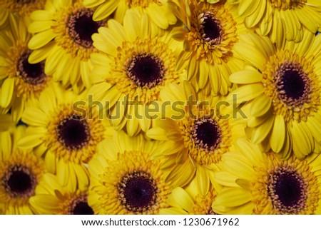 bunch of yellow with orange black heart Gerbera in full bloom #1230671962