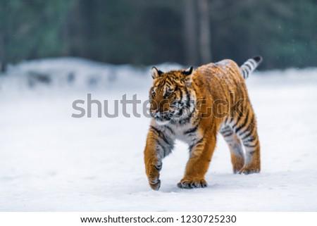 Siberian Tiger in the snow (Panthera tigris) #1230725230