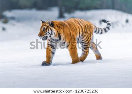 Siberian Tiger in the snow (Panthera tigris) #1230725236