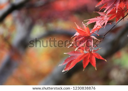 beautiful colour of maple leaves in autumn #1230838876
