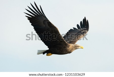 Adult White-tailed eagle in flight. Sky background. Scientific name: Haliaeetus albicilla, also known as the ern, erne, gray eagle, Eurasian sea eagle and white-tailed sea-eagle.