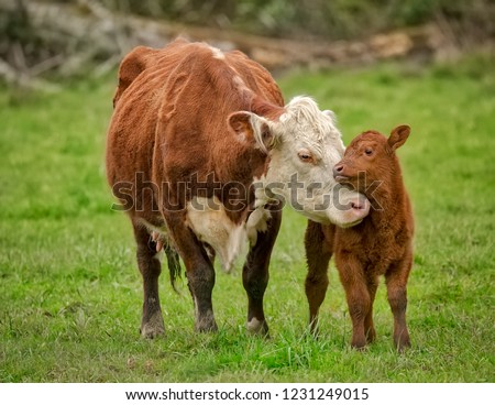 Momma Cow and Calf Sharing a Nuzzle, Humboldt County, California Royalty-Free Stock Photo #1231249015