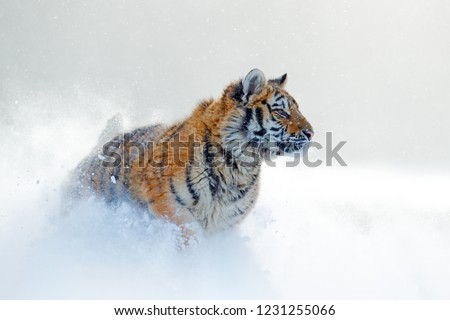 Snowflakes with wild cat. Tiger in wild winter nature, running in the snow. Siberian tiger, Panthera tigris altaica. Action wildlife scene with dangerous animal. Cold winter in taiga, Russia.  #1231255066