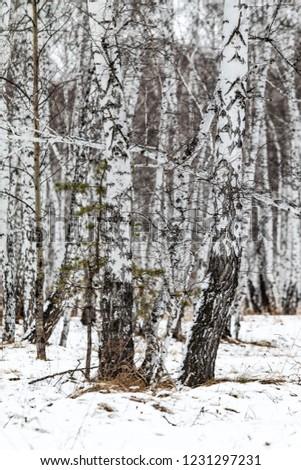 winter birch forest nature landscape #1231297231